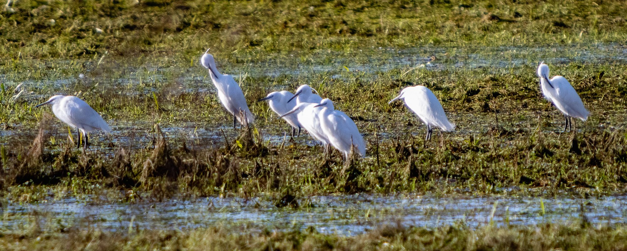 Little Egrets
